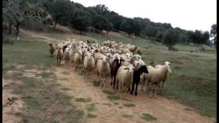 Quando um rebanho de ovelhas me tomaram por pastor