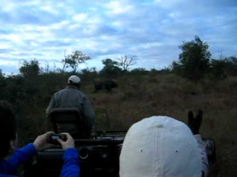 White Rhinoceros, Sabi Sabi Private Game Reserve, next to Kruger National Park in South Africa