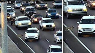 Confused Dog Runs Into Traffic on Arizona Expressway
