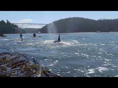 Deception Pass Orcas - June 21st, 2017