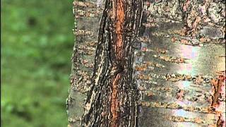 Home Gardener - Tree Problems - Flowering Cherry
