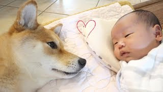 Dog Comforts Crying Baby!