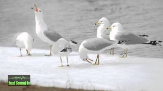 group of seagulls sound