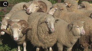 Cães Pastores de Ovelhas | Demonstração na Quinta do Pisão