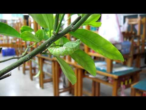 蟲到蛹的關鍵時刻 - YouTube