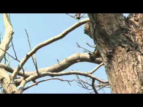 Nicaragua Ometepe Eekhoorn 1 xvid