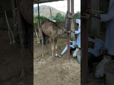300 cattle and camels housed in barodiya