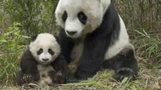 Panda Maci dal