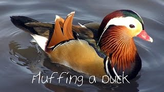 Fluffing a Duck - Kevin MacLeod {Minilodies}