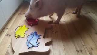Moritz The Clever-Pig Wants Your Attention
