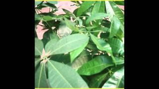 Pacific Yew - (((((Plants)))))