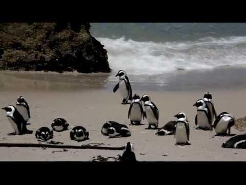 African Penguins Waddling
