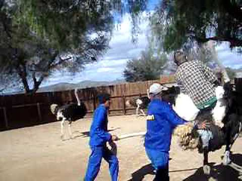 Russel rides an Ostrich in Oudtshoorn