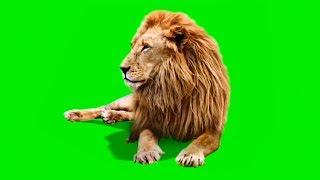 Male Lion | Best Green Screen ( Download Link )
