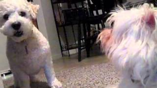 Barking Bijon and Playful Maltese