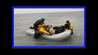Breaking News | Flock of lambs drowns: ice-sar rescues sheep in floods caused by torrential rain in