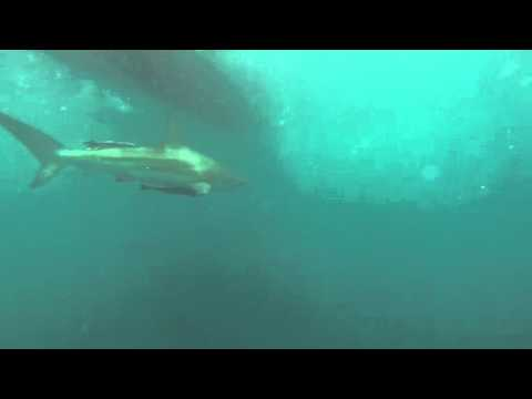 Shark diving South Africa (kc)