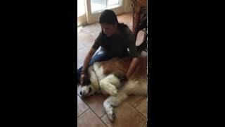 Wendy Both doing Reiki on a St Bernard dog
