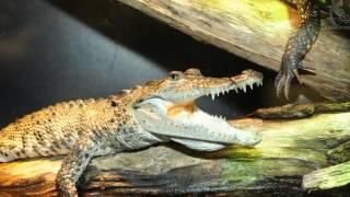 Kleine Krokodile