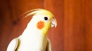 How to Take Care of a Cockatiel | Pet Bird
