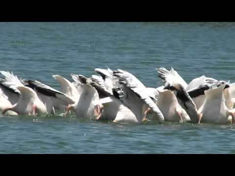 Sychronized swimming Pelicans South Africa 2012 315.MOV