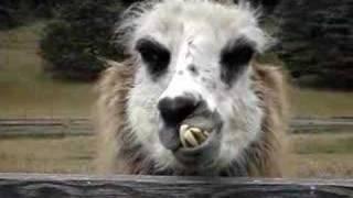 ugliest llama i have ever seen