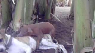 porco e cachorro