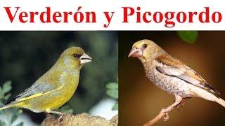 Verderon novel y Picogordo pelando pipas