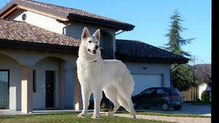 I 10 cani più belli del mondo  Classifica dei 10 cani più....