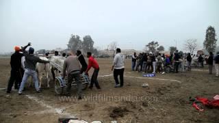Get set go, Bullock cart race - Punjab