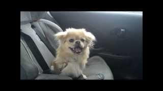 Cachorrinho cantando Adele