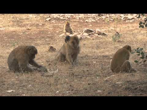 Os Macacos dos Atlas