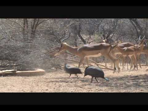 Randy Impala #2 Diekie Muller Hunting Safaris Bow Hunting South Africa