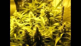 Autociltivo indoor, floración (39 días)