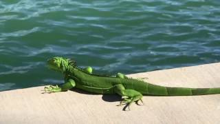 The Iguana's Journey