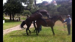Wow! Amazing how to breed for horses width=