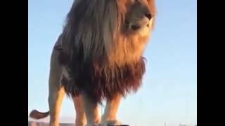 Leão. O rei da selva.