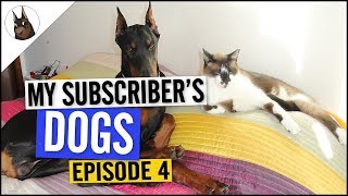 The True Nature of a DOBERMAN? - Doberman and Cat Playing [2018]
