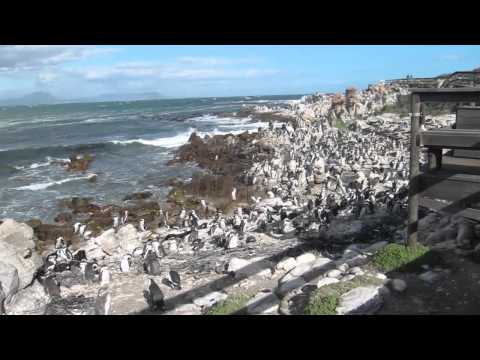 Penguin Colony – Betty's Bay (South Africa)