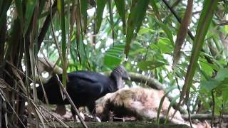 Vulcher eating a dead sloth at Manuel Antonio - Aquademy