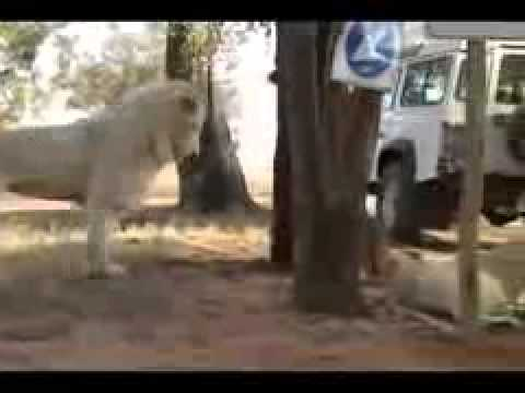 Volunteer-Lion-Park.flv