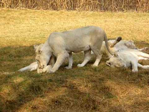 Lijeni bijeli lavovi