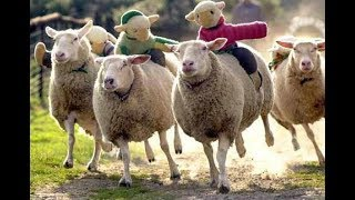 Sheep truly are dumb, directionless and defenceless : Prone to wander and cowardly : 16 Aug 2015