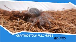 Grammostola Pulchripes Sling MOLTING Timelapse