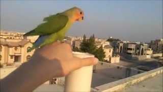 نتيجة بحث الصور عن طائر love birds مدرب