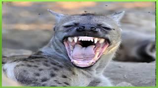 efeito sonoro de risada de hiena - sound effect hyena laugh - 効果音ハイエナの笑い -  音效笑鬣狗