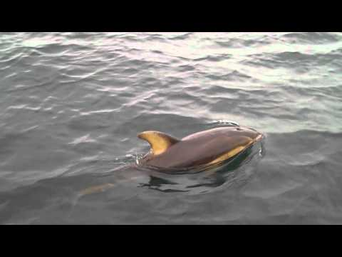 Young Pacific White Sided Dolphin off Sooke, BC