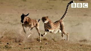Do cheetah always outrun their prey? Watch this to find out