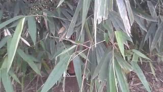 Ternyata Di Balsem (balek Semak Semak) Bambu Merinding Bulu Roma..