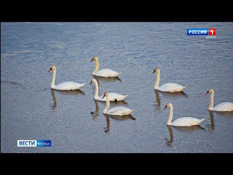 Стая белых лебедей была замечена на реке Мезень